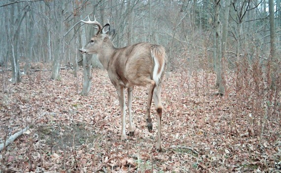 Whitetail Buck at Scrape