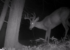 "A two year old eight point which may score around the 90"" mark once antler growth is completed. He is one of the largest bucks frequenting the property at this time and is certainly in the top 10%. Harvest decisions need to be based off personal criteria, objectives and management goals."