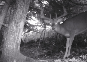"The same buck as a three year old. He has added 25"" of antler in one growing season and grosses around the 125' mark."