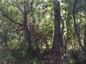At approximately 8 feet off the ground, this stand provides more cover than a platform positioned at 20 feet in this tree and the thick vegetation around the area can conceal the hunter's approach.