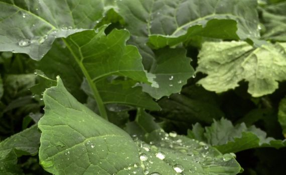 brassica leaves