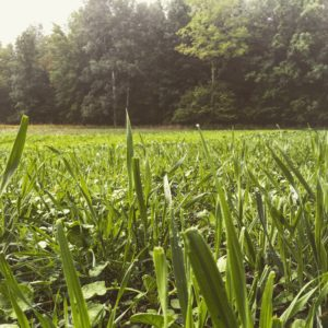 cereal grain food plot
