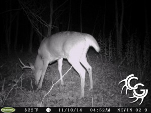 Mature buck at scrape
