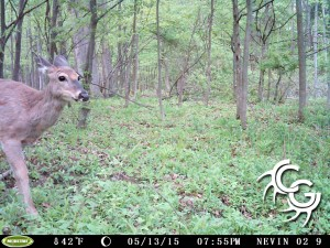 Buck at scrape