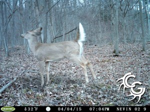 Button buck at scrape