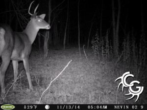 Spike buck at scrape
